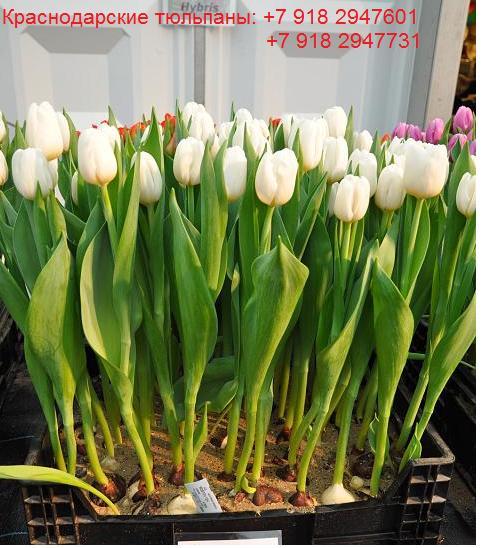Тюльпаны в краснодаре купить оптом